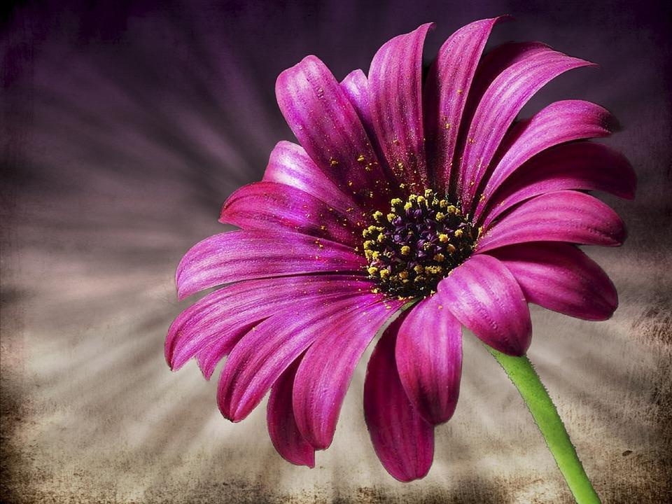 Wallpaper Images Hd Flowers G 228 Nsebl 252 Mchen Rosa Blume 183 Kostenloses Foto Auf Pixabay