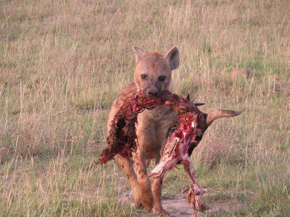 Jungle Animal Wallpaper Hyena Scavenger Predator 183 Free Photo On Pixabay