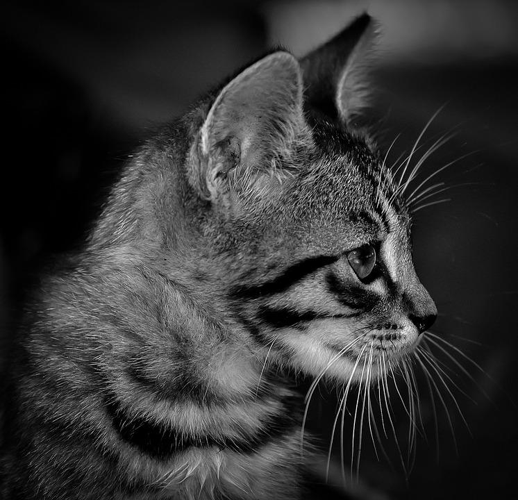 Cute Little Kitten Desktop Wallpapers Free Photo Kitten Black White Cat Cute Free Image