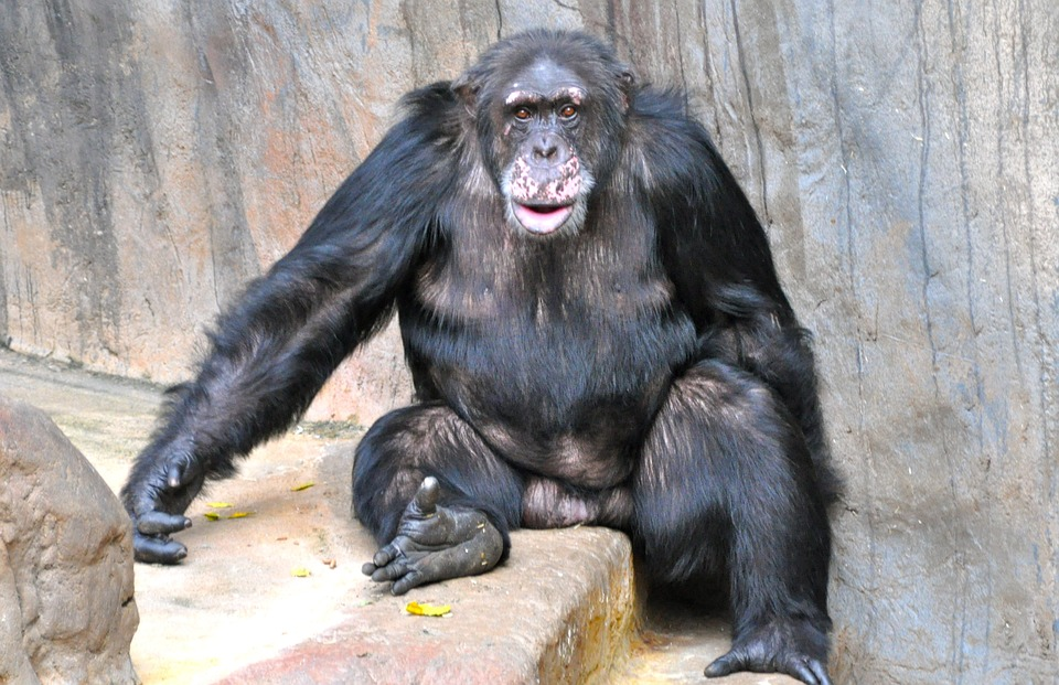 Cat Cute Wallpaper Download Free Photo Monkey Chimpanzee Sweet Free Image On