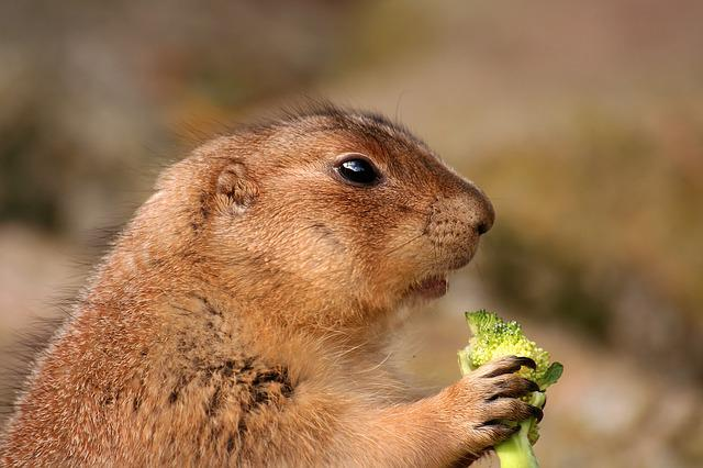 Cute Pig Wallpaper Hd Free Photo Prairie Dog Rodent Animal Cute Free Image