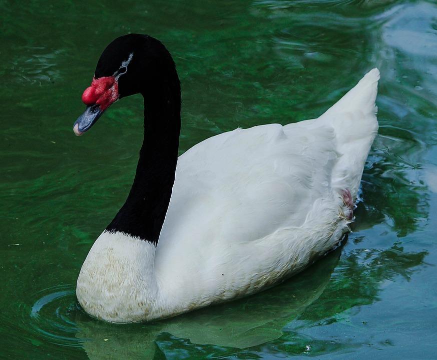 Black And White Animal Wallpaper Swan Black Necked Cygnus 183 Free Photo On Pixabay