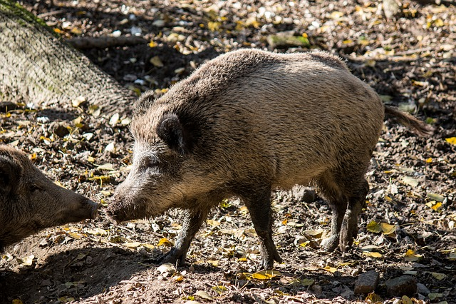 Black Wallpaper Hd 1366x768 Free Photo Boar Animals Pig Nature Free Image On