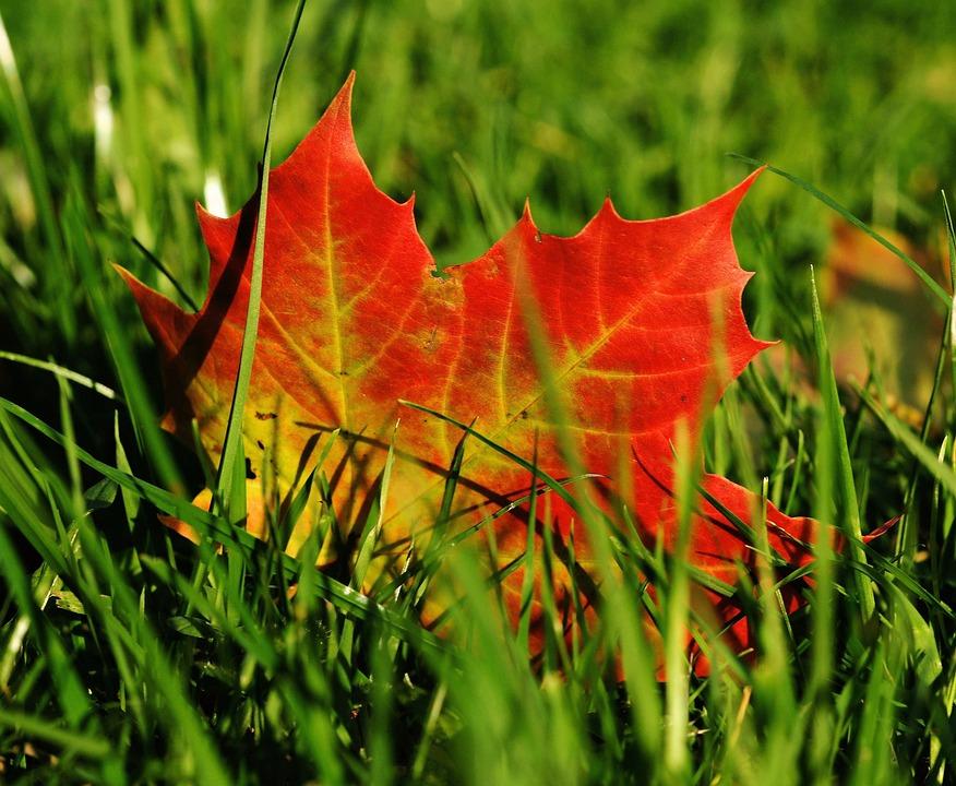 Fall Leaves Desktop Wallpaper Free Free Photo Maple Maple Leaf Autumn Leaf Free Image
