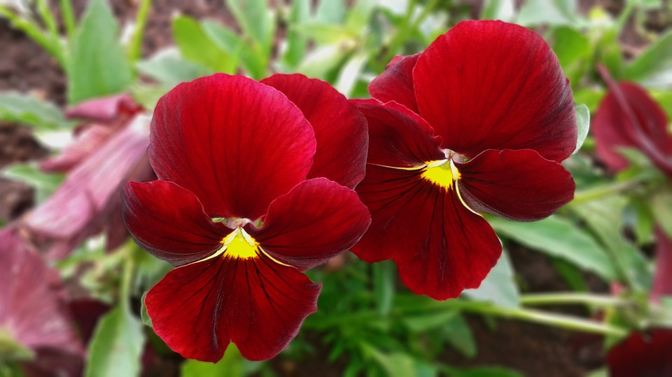 Black And Blue Floral Wallpaper Free Photo Pansy Red Flower Bloom Violet Free Image