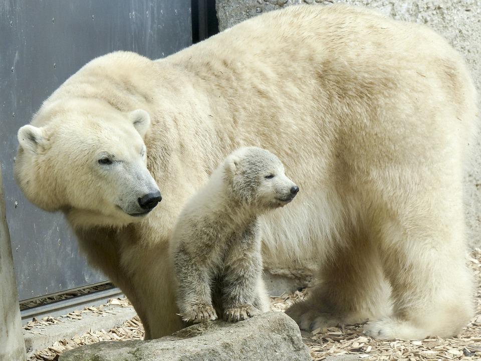 Cute Winter Wallpaper Hd Free Photo Polar Bear Female Cub Animal Free Image