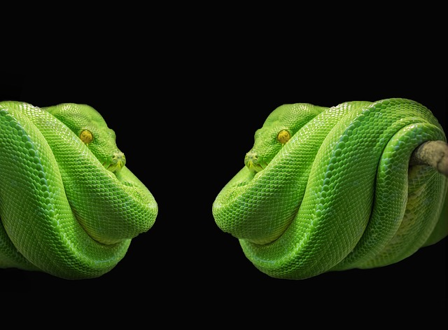Best And Cute Wallpapers Free Photo Python Snake Green Tree Python Free Image