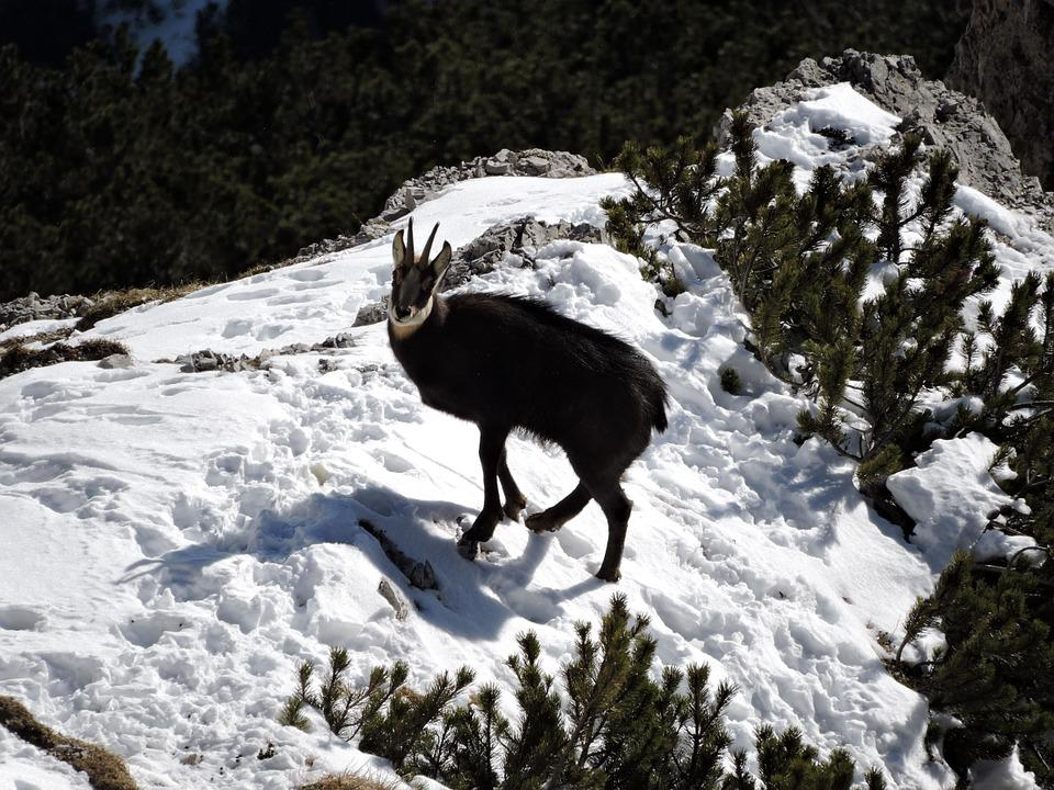 Forest Animal Wallpaper Photo Gratuite Chamois Neige Animal Montagne Image