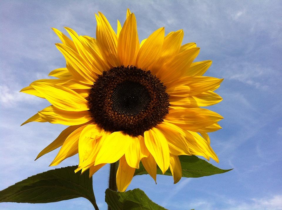 Apple Wallpaper Iphone 7 해바라기 꽃 183 Pixabay의 무료 사진