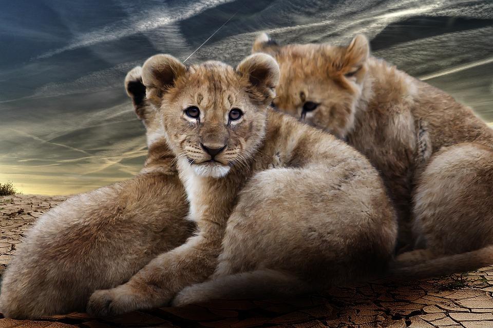 Hd Wallpaper Natur Photo Gratuite Lionceau B 233 B 233 S Lions Lion Fauve Image