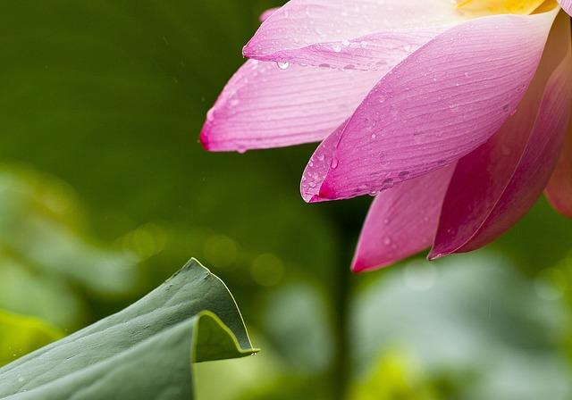 Black And Pink Flower Wallpaper Free Photo Lotus Flowers Nature Lotus Leaf Free