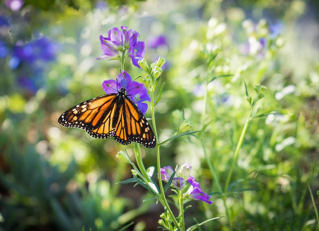 Free Animal Wallpaper Backgrounds Free Photo Monarch Butterfly Purple Flower Free Image