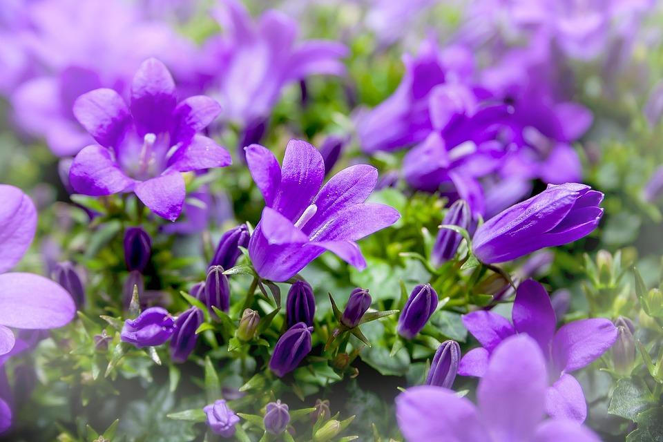 Violet Flower Hd Wallpaper 無料の写真 ベルフラワー カンパニュラ 紫 花 青 バイオレット Pixabayの無料画像 660421