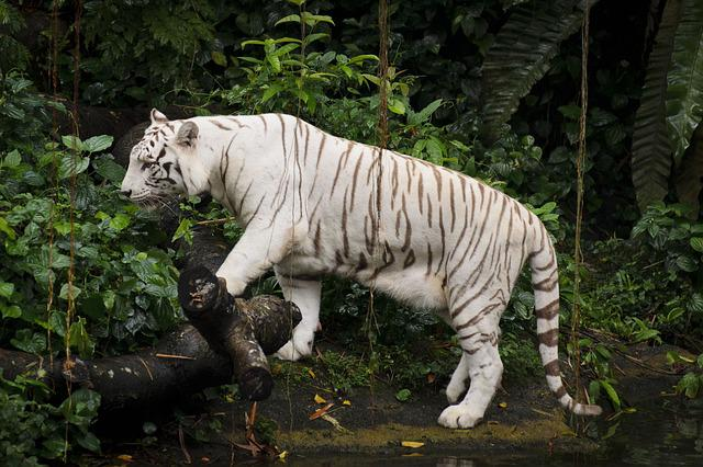 3d Animation Animals Wallpaper Free Photo White Tiger Zoo Singapore Tiger Free