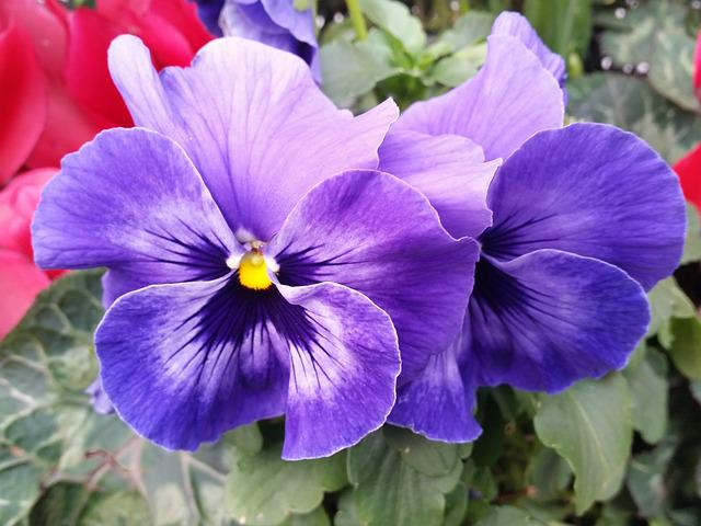 Animation Wallpaper Hd Free Download Free Photo Pansy Flower Purple Nature Free Image On
