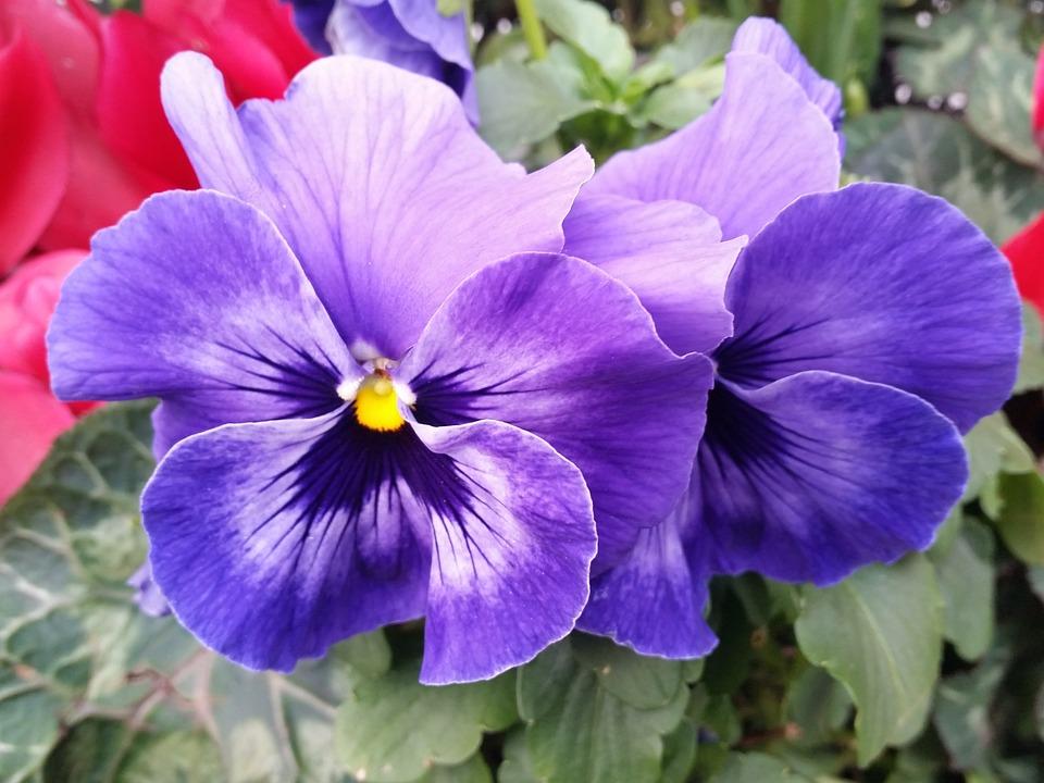 Black Rose Wallpaper Free Download Free Photo Pansy Flower Purple Nature Free Image On