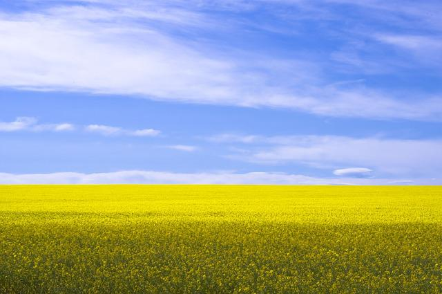 Black And Blue Wallpaper Free Photo Canola Field Yellow Agriculture Free
