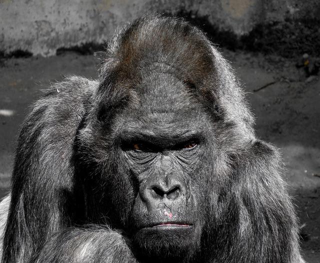 Wallpaper Hd Portrait Orientation Free Photo Gorilla Monkey Ape Zoo Free Image On