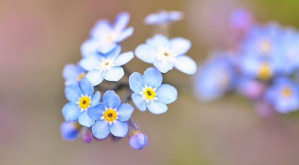 200+ Free Forget Me Not  Bloom Images - Pixabay
