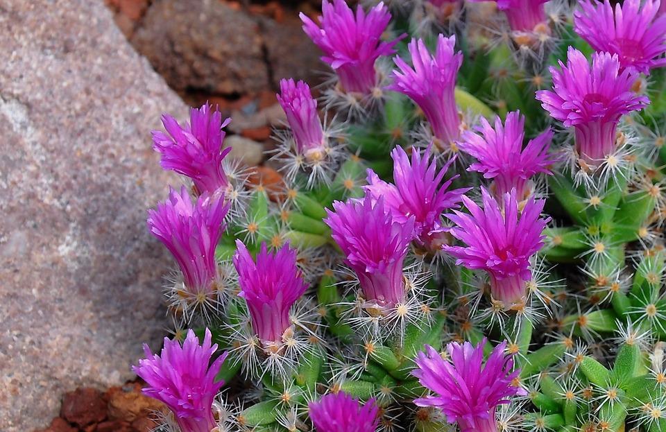 Vertical Wallpaper Hd Photo Gratuite Cactus Fleur Fleur De Cactus Image