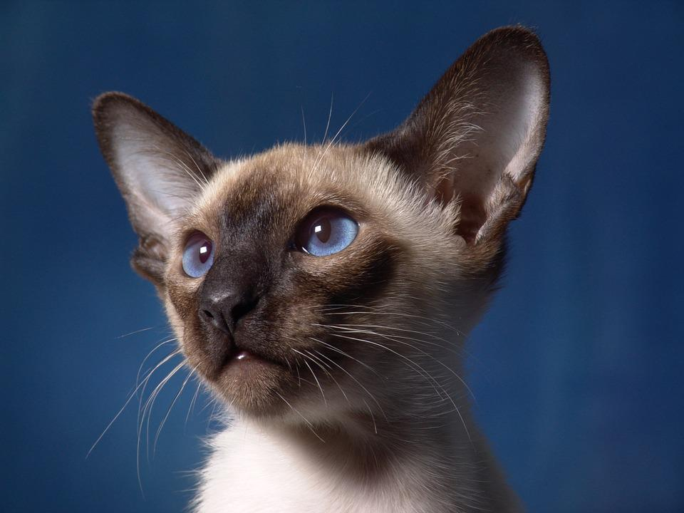 Cute White Kittens With Blue Eyes Wallpaper Free Photo Cat Siamese Cat Portrait Free Image On