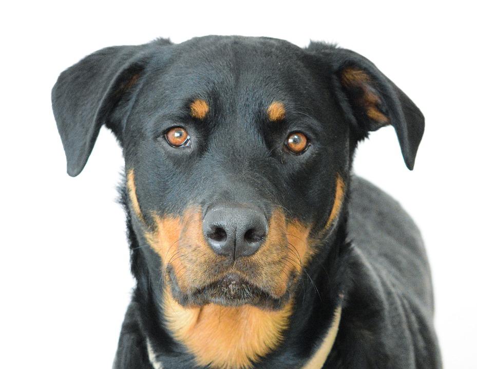 Cute Puppies Wallpaper 1080p Photo Gratuite Rottweiler Chien Visage Image Gratuite