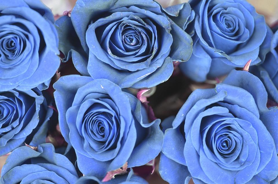 Free Photo: Rose, Blue, Flower, Spring, Nature - Free Image On