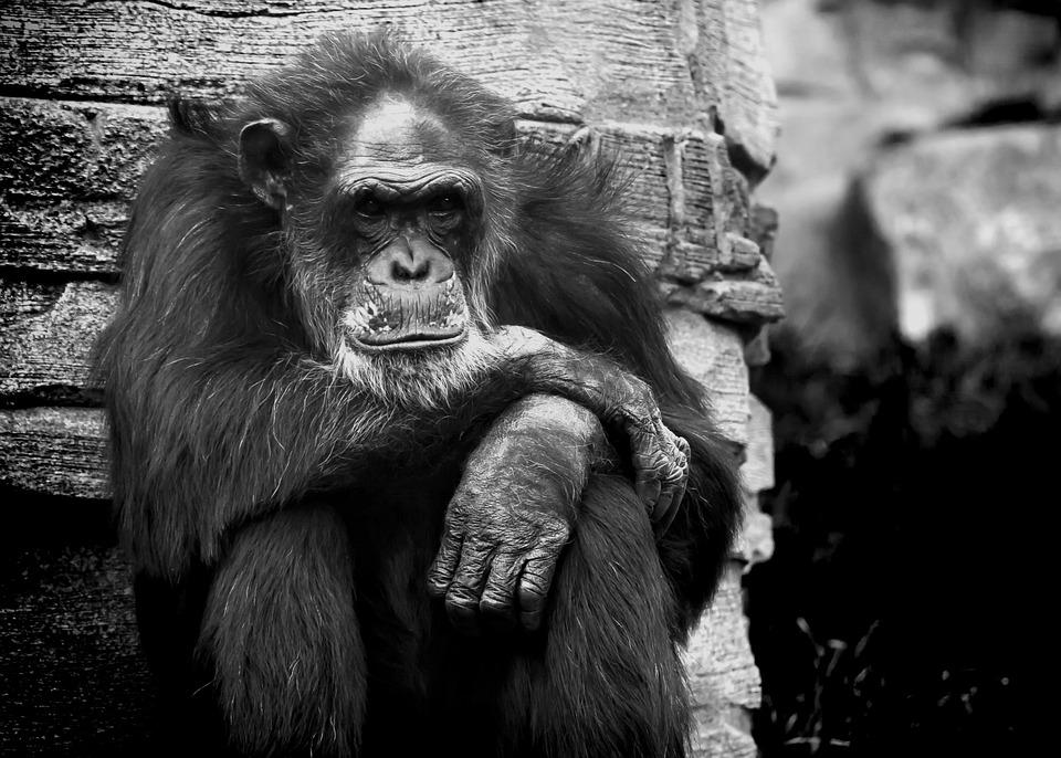 Wallpaper Hd Portrait Orientation Photo Gratuite Singe Chimpanse Noir Et Blanc Bw