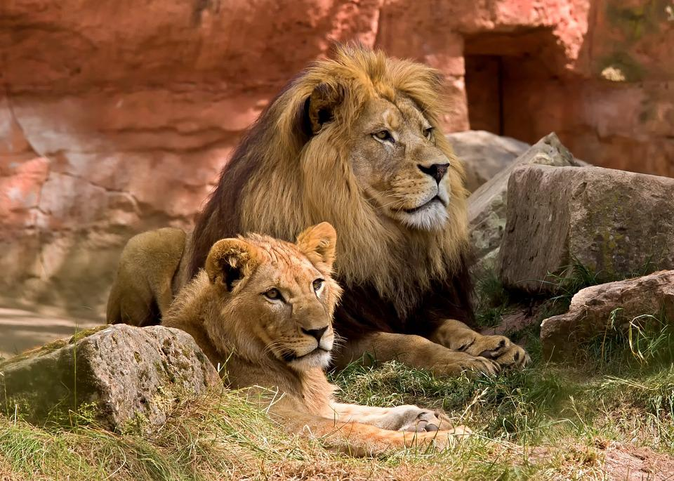 Cute Lion Cubs Hd Wallpapers Free Photo Lion Wildlife Predator Zoo Free Image On
