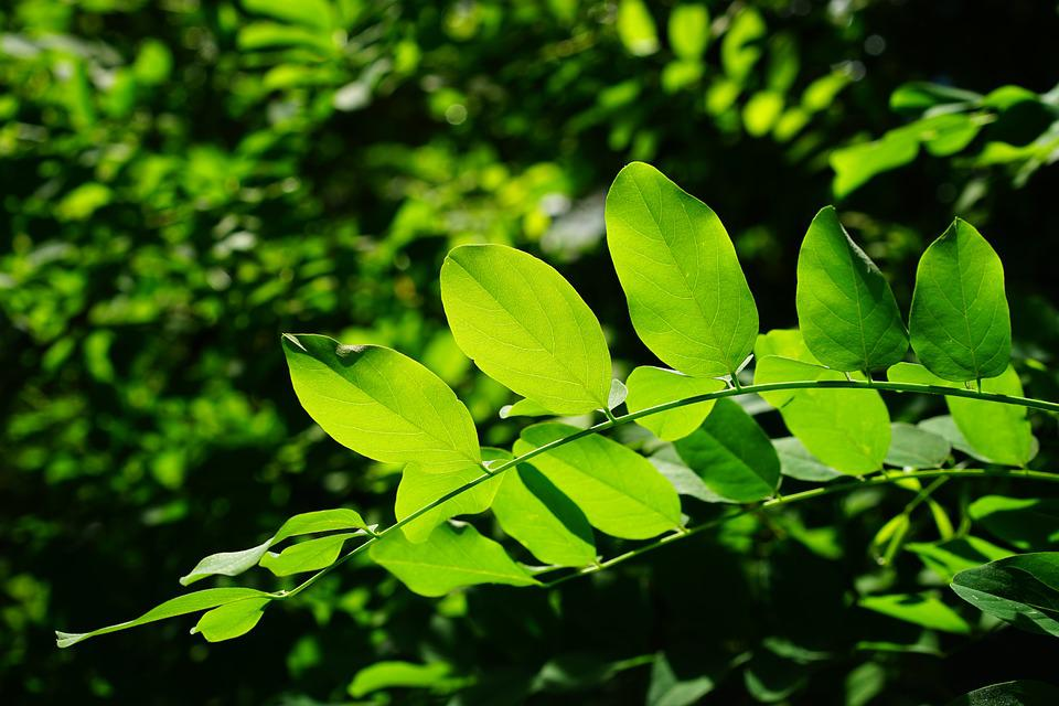Free Animated Wallpaper Backgrounds Free Photo Leaves Green Common Maple Tree Free Image