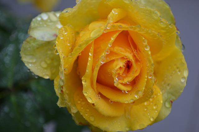 Black Flower Wallpaper Free Photo Yellow Rose Rose Yellow Rain Free Image