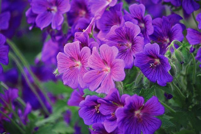 3d Colour Wallpaper Free Download Kostenloses Foto Storchenschnabel Bl 252 Ten Blume