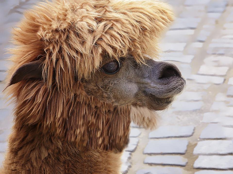 Animal Wallpaper Free Photo Lama Camel Animal Alpaca Free Image On