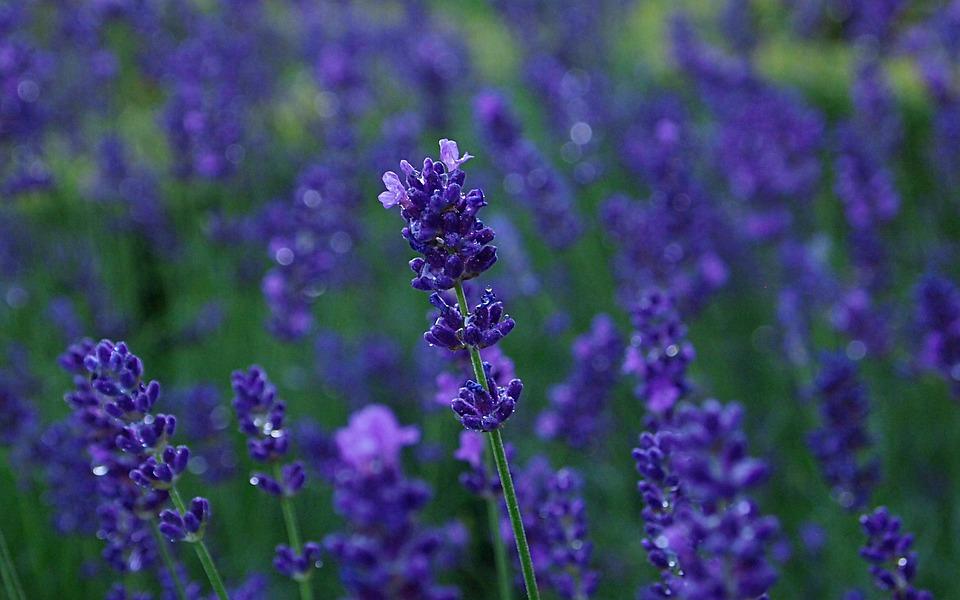 Lavender Rain Blue Purple Flower - Free photo on Pixabay