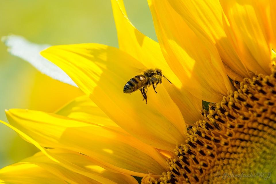Art Design Wallpaper Hd Free Photo Bee Sun Flower Yellow Busy Bee Free Image