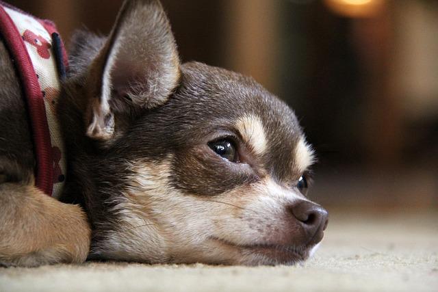 Free Animal Wallpaper Download Chihuahua Dog Puppy 183 Free Photo On Pixabay