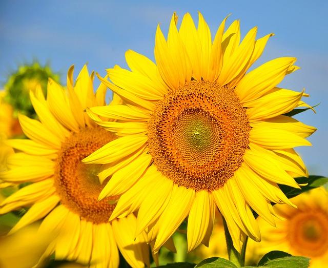 Girl Hd Wallpaper Free Download Sunflower Yellow Flower 183 Free Photo On Pixabay