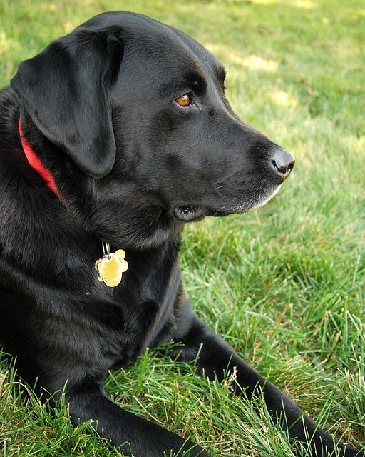 Cute Shih Tzu Puppies Wallpaper Dog Labrador Retriever Black Lab 183 Free Photo On Pixabay