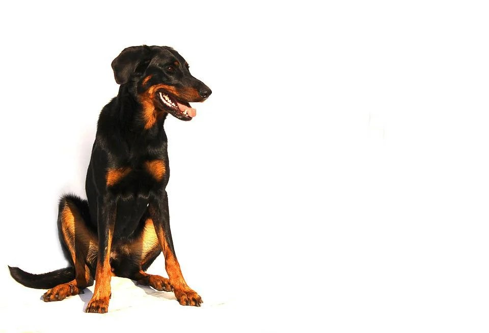 Wallpaper Hd Portrait Orientation Free Photo Beauceron Dog White Animal Free Image On