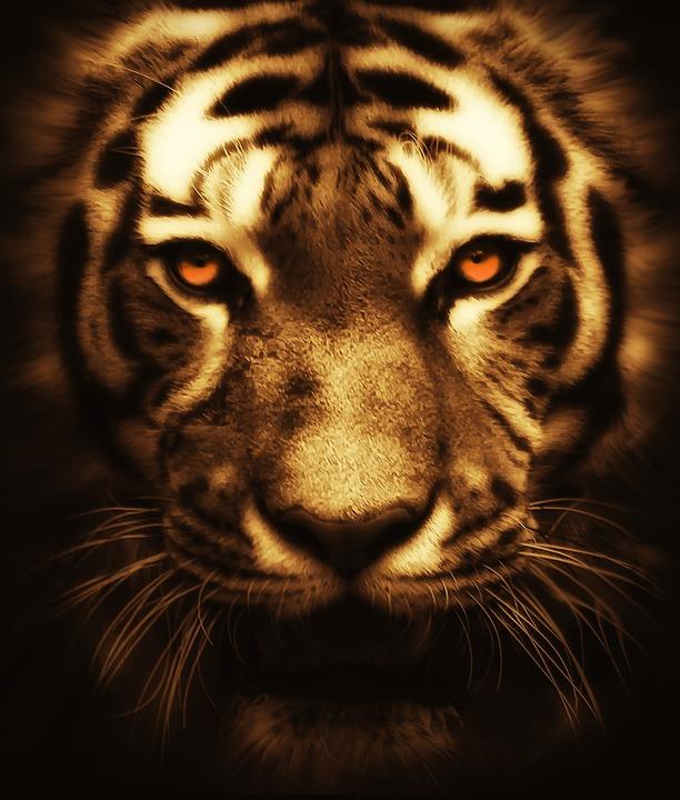 Cute Mandala Wallpaper Free Photo Cat Tiger Animal Wildlife Wild Free