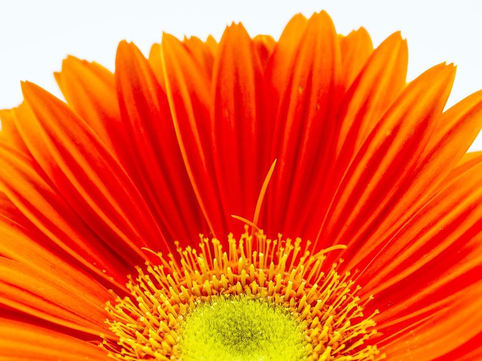 Wallpaper Images Hd Flowers Kostenloses Foto Gerbera Bl 252 Te Orange Blume Rot