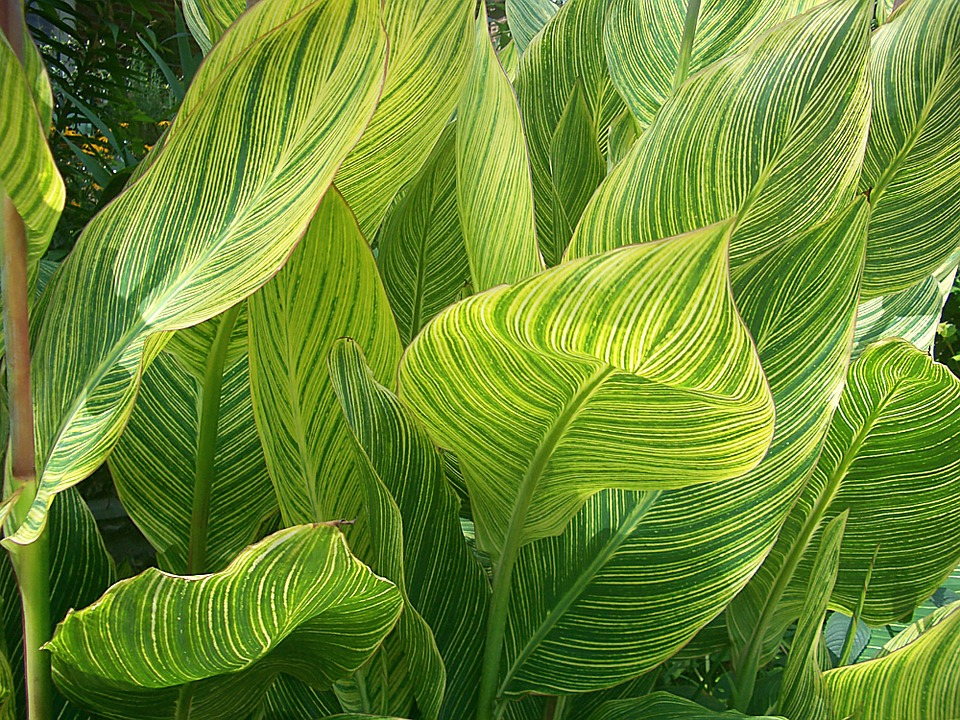 Gear Wallpaper Hd Free Photo Variegated Canna Leaves Free Image On