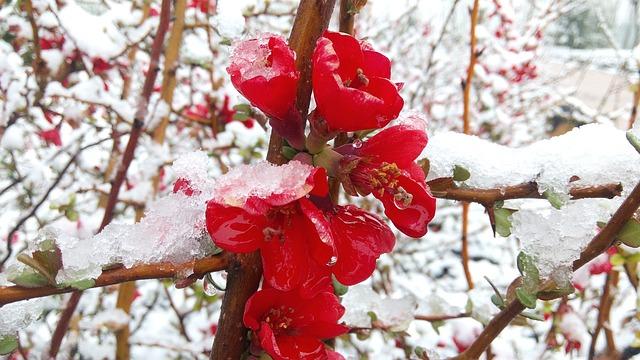 Hd Wallpaper Co Gratis Foto Sneeuw Winter Ijs Bloem Gratis