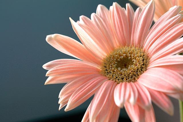 Pink Cherry Blossom Wallpaper Hd Gerbera Daisy Flower Plant 183 Free Photo On Pixabay