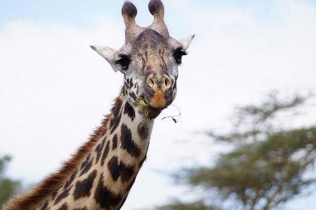 Hd Wallpaper Natur Kostenloses Foto Giraffe Essende Giraffe Hals