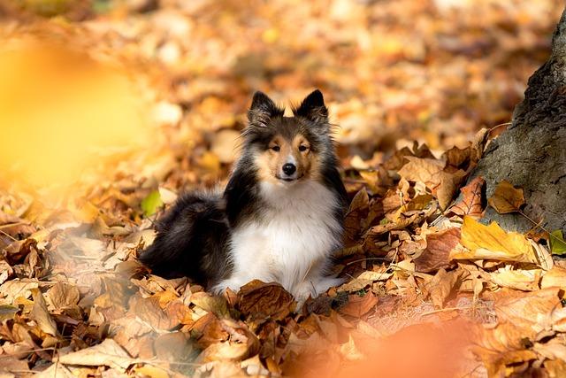 Free Fall Puppy Wallpaper Free Photo Sheltie Dog Lying Leaves Autumn Free
