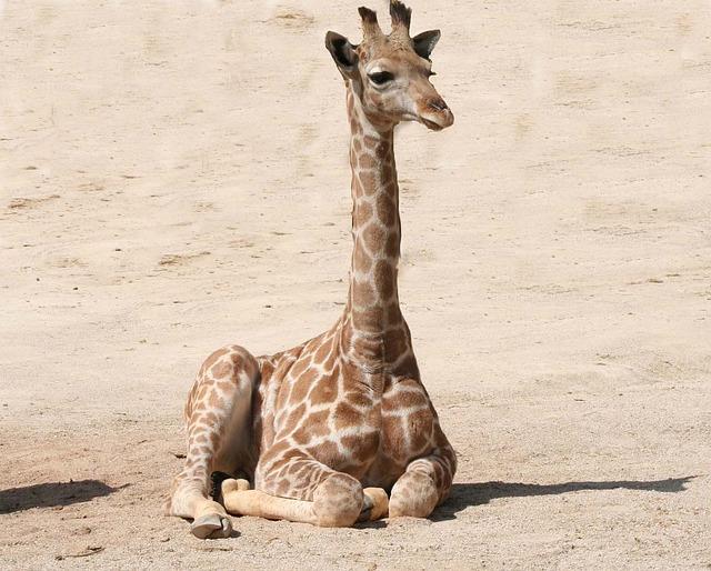 So Cute Boy Wallpaper Giraffe Baby Mammal 183 Free Photo On Pixabay