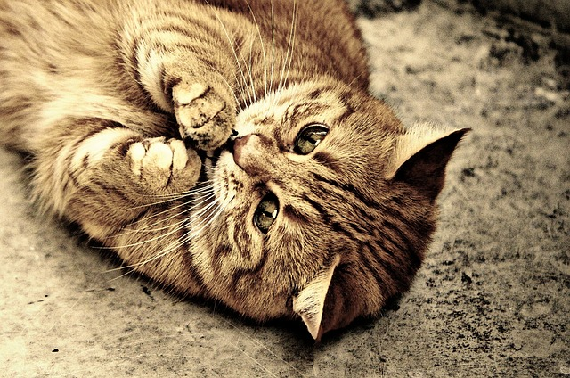 Cute Images For Computer Wallpaper Free Photo Cat Sepia Cute Mackerel Tiger Free Image