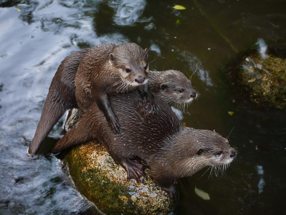 Cute Otter Wallpaper Free Photo Otter Mammal Clawed Otter Free Image On