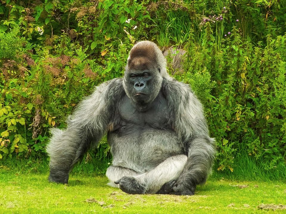 Car Black And Green Wallpaper Gorilla Animal 183 Free Photo On Pixabay